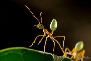 Ameisen - Ants